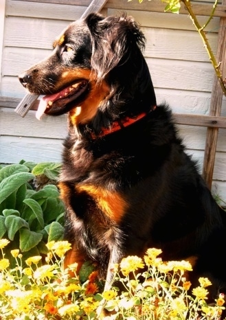 Axl the black and tan English Shepherd is sitting behind a bunch of dandelions with a house behind him.
