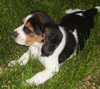 A black, tan and white tricolored English Speagle puppy is laying in grass and looking forward