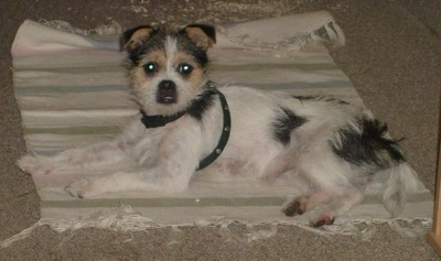 A wiry-looking white, black and tan Fo-Tzu is wearing a harness while laying on a tan throw rug and looking to the left.