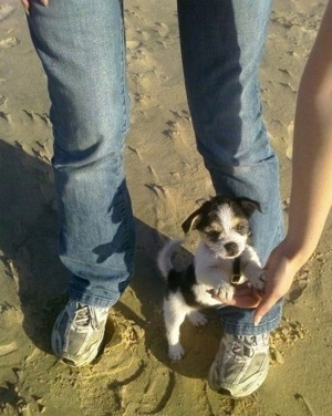A white, black and tan Fo-Tzu puppy is standing at a beach with a person holding its paws up in the air with its hands.
