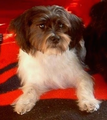 A black and white with tan Fo-Tzu is laying on a black and red blanket