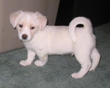 A white and cream Foxingese puppy is standing on a light green carpet and there is a tan couch in front of it