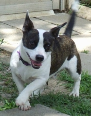 A short-legged black brindle and white Foxton is running around a yard. Its mouth is open and tongue is out