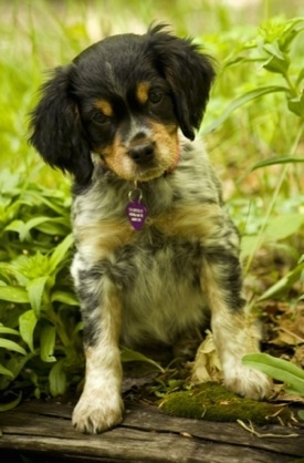 A black, tan and white ticked French Brittany Spaniel puppy is sitting in a garden on top of a wooden railroad tie