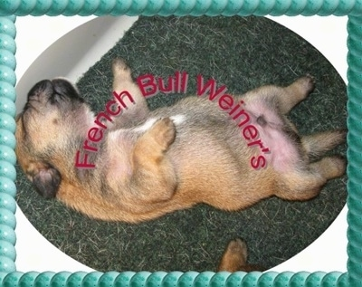 A tan with black French Bull Weiner puppy is sleeping on its back belly-up on a rug. The Words - French Bull Weiner's - are overlayed in red letters. Theres a border that is a series of gree bubbles
