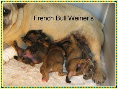 A tan with black litter of French Bull Weiner puppies are laying under their tan with black Frenchie mother. The words - French Bull Weiner's - are overlayed