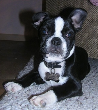 Frenchton Dog Breed Information And Pictures