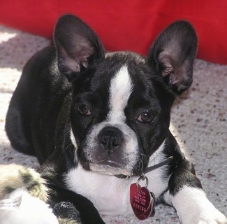 Designer Breed Registry = Boston Frenchie or Faux Fr. Bull Dog