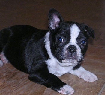 Bentley, the Boston Terrier / Frenchie hybrid (Faux Frenchbo Bulldog) puppy at 8 weeks old