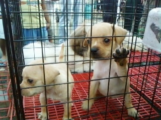 Two tan French Pin puppies are in a pen with a red crate bottom outside. The Right most Puppy has its paw on the side of the pen