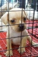 A tan French Pin puppy is sitting in a pen with a red crate bottom and looking forward