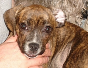 Close Up - A brown brindle with white Frengle is in the arms of a person. There is another fuzzy dog behind it