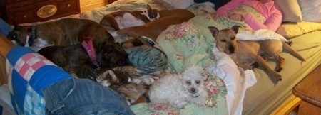 Six dogs are laying and sleeping on a bed with a lady in pink