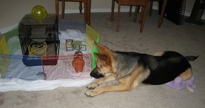 A black and tan German Shepherd is laying on a tan carpet in front of a pen. Inside of the pen is a gerbil, a gerbil cage and gerbil toys