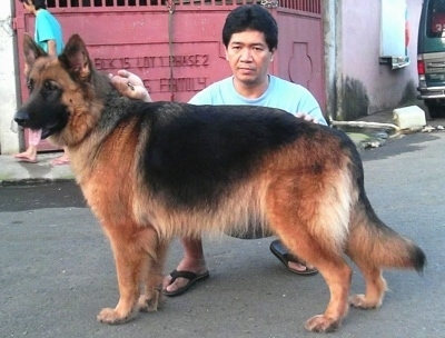 Female German Shepherd dog named Wolfy, at 3 years and 8 months old