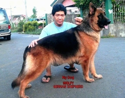retired german shepherd police dogs for sale