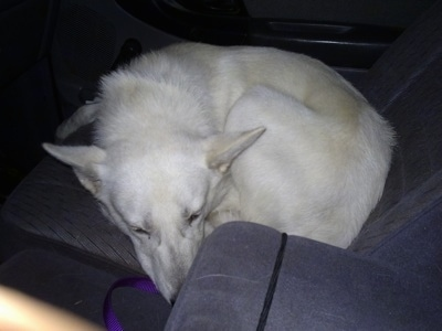 A white German Shepherd dog is sleeping curled up in a ball in the seat of a vehicle.