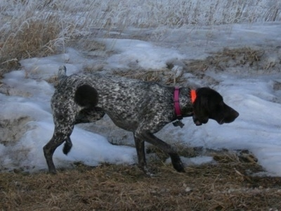 A black and white German Shorthaired Pointer is wearing a bright orange collar walking through ice and snow in the field