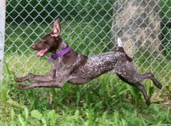 Action shot - A German Shorthair Pointer is running in front of a chain link fence. None of its paws are touching the ground
