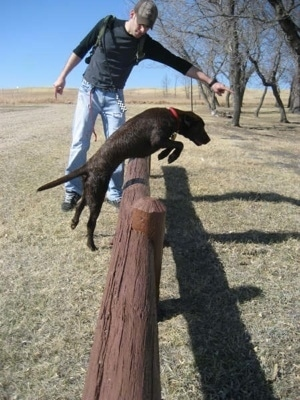 A chocolate German Shorthaired Labrador is jumping over a wooden fence with a man directing it