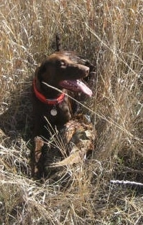 A chocolate German Shorthaired Labrador is laying in a field with large brown grass next to a dead pheasant bird it just caught.