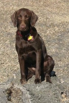 A chocolate German Shorthaired Labrador is sitting in a field on a tree stump.
