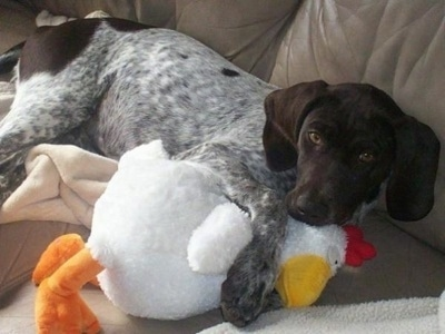 Kado the GSP puppy at 4 months old.