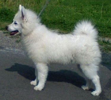 Giant German Spitz Dog Breed