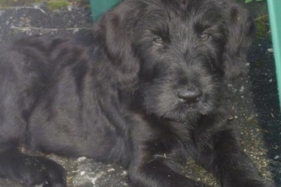 Close Up - a black Giant Schnauzer puppy is laying outside on a blacktop looking forward