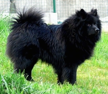 Giant German Spitz Dog Breed Information And Pictures