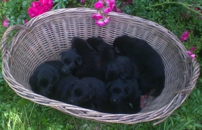 A litter of black Giant German Spitz puppies are inside of a wicker basket that is sitting outside in grass with hot pink flowers behind it.