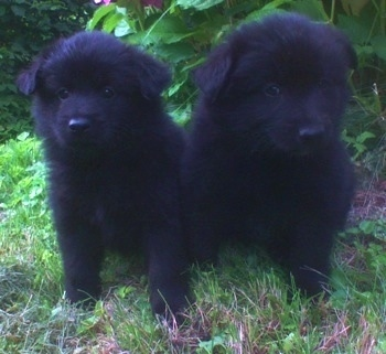 Two fluffy black Giant German Spitz puppies are sitting next to each other in front of a bush