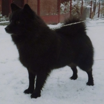 A fluffy black Giant German Spitz is standing outside in snow