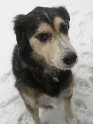 A black with white and tan Goberian dog is sitting outside in snow with snow all over its face.