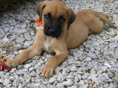 Golden Boxer Dog Breed Information and Pictures
