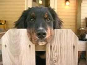 A black with tan and white Golden Mountain dog has its head between the two wood panals of a fence. There is a house in the background
