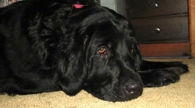 Close Up - A large droopy black Golden Newfie is laying down on a tan carpet next to a black and brown wooden dresser