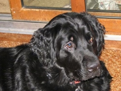 Close Up - A black Golden Newfie is laying on a brown floor in front of a sliding door.