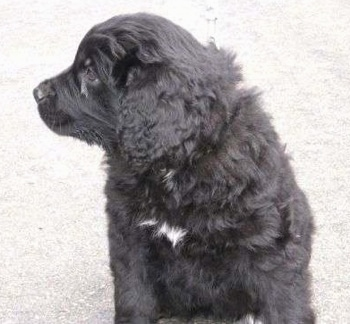A black with white Golden Newfie puppy is sitting on a concrete surface and looking to the left