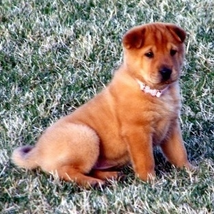 A Golden Pei puppy is sitting in grass wearing a pink collar.