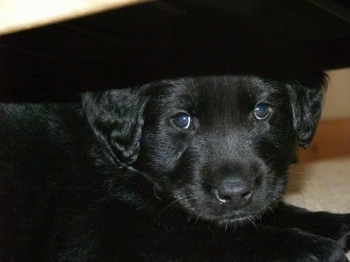 Close up head and upper body shot - A black Golden Retriever/Hovawart mix breed puppy is laying under a coffee table.
