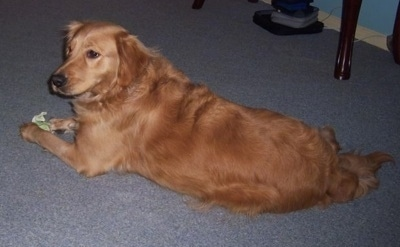 A Golden Retriever is laying on a light blue carpet with a rawhide bone between its front paws