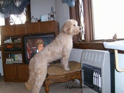 A Goldendoodle is standing on an Ottoman and looking out of a window. Behind it is Judge Judy on a television
