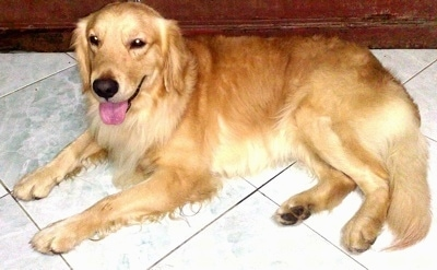 A Golden Retriever is laying on a white tiled floor in front of a wooden wall. Its mouth is open and tongue is out