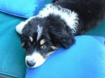 Close Up - A black, tan and white Great Bernese puppy is laying on a teal-blue bed with pillows around it