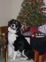 A black, tan and white Great Bernese is sitting in front of a table which has a Christmas tree and books on it