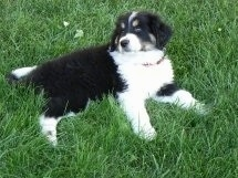 A black, white and tan Great Bernese puppy is laying on its side in grass