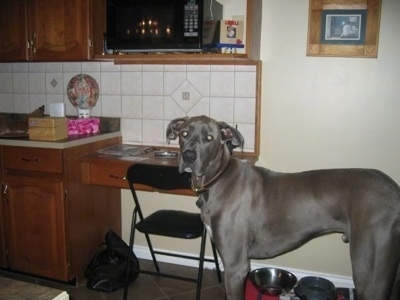 A grey with white Great Dane is standing in a kitchen. It is looking to the left. There is a food bowl and water bowl behind it