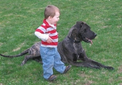 A toddler boy in a red and white shirt is standing next to a brindle gray and black Great Dane. The Great Dane is laying in grass with its mouth open and tongue out.