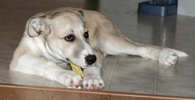 A tan and white Great Pyredane puppy is chewing on a bone on a tan tiled floor in front of a staircase.